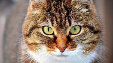 La castration ou stérilisation du chat